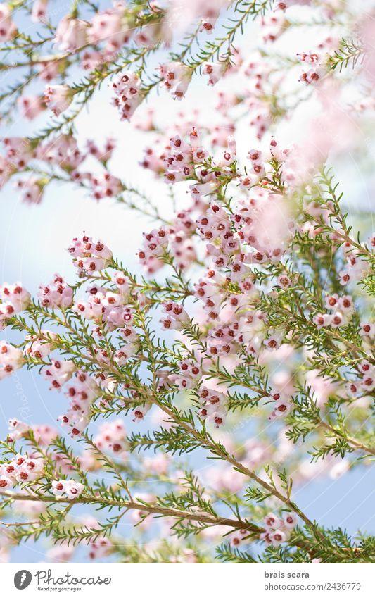 Frühlingsblumen Umwelt Natur Pflanze Erde Blume Blüte Wildpflanze Feld Wald Berge u. Gebirge Holz natürlich schön rosa Gelassenheit Mode Umweltschutz