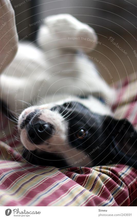 Kommste ne Runde Kuscheln? Haustier Hund Tiergesicht beobachten liegen niedlich rot schwarz weiß Glück Fröhlichkeit Zufriedenheit Tierliebe Blick Hundeauge