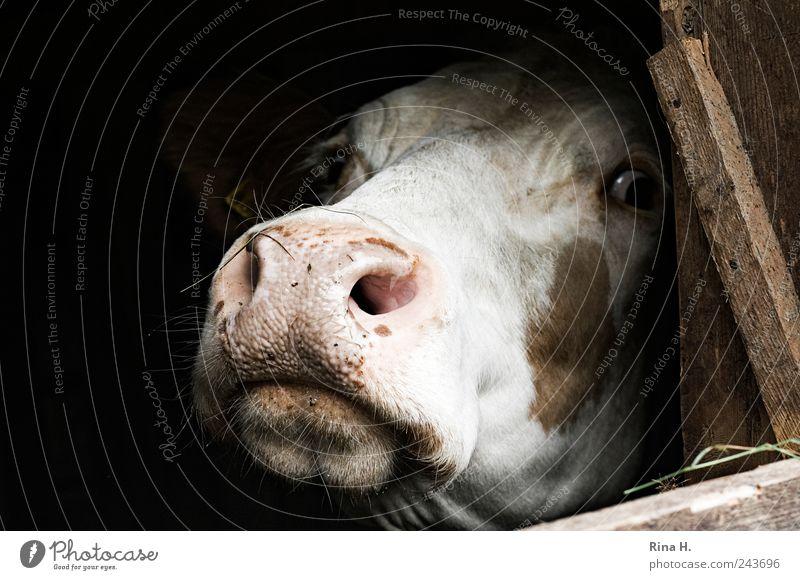 Lass mich hier raus ! Einsamkeit Tier Angst trist authentisch beobachten natürlich Neugier Schmerz Landwirtschaft Kuh Stress gefangen Todesangst Maul Entsetzen