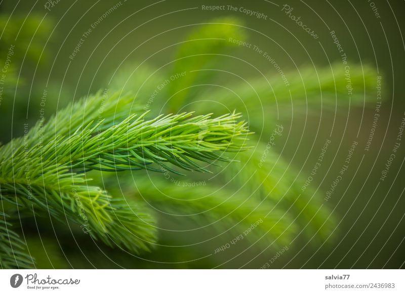 Frühlingstriebe Umwelt Natur Pflanze Baum Nutzpflanze Fichte Trieb Tannennadel Wald frisch stachelig grün Nadelbaum Zweige u. Äste Jugendliche hellgrün Farbfoto