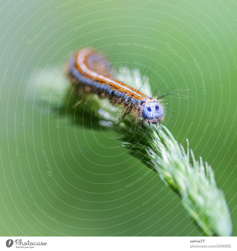 bunte Raupe Umwelt Natur Pflanze Gras Gräserblüte Tier Tiergesicht Larve 1 krabbeln außergewöhnlich mehrfarbig grün Wandel & Veränderung Wege & Pfade Behaarung