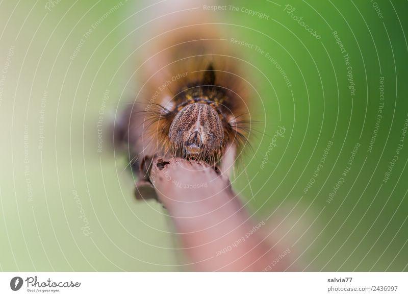 Kopfschmuck Natur grün Tier Umwelt außergewöhnlich braun Insekt Tiergesicht skurril bizarr krabbeln Raupe haarig Larve