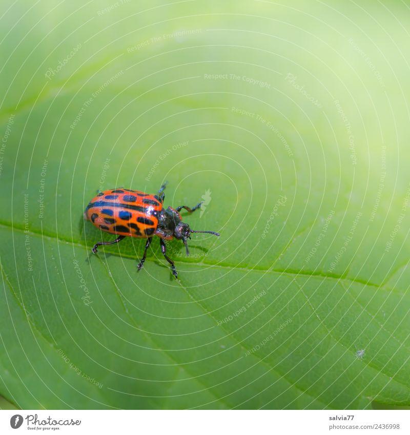 Weidenblattkäfer Natur Pflanze Blatt Blattadern Tier Käfer Insekt 1 krabbeln grün orange Farbe Wege & Pfade Kontrast Farbfoto Außenaufnahme Makroaufnahme