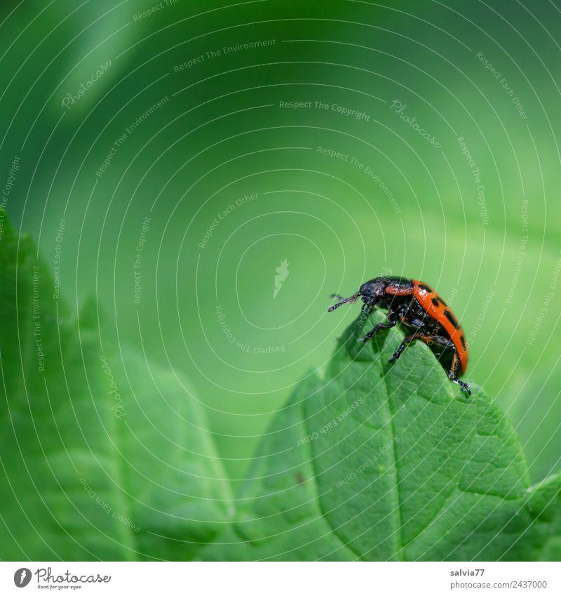 Spitze erklommen Natur Sommer Pflanze grün rot Tier Blatt Frühling natürlich Wildtier frisch Käfer krabbeln Blattadern Blattgrün