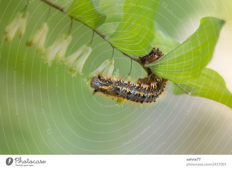Kletterkünstlerin Natur Pflanze Tier Frühling Sommer Blatt Blüte Wildpflanze Wiese Wildtier Raupe Larve Schmetterling Motte 1 außergewöhnlich natürlich grün