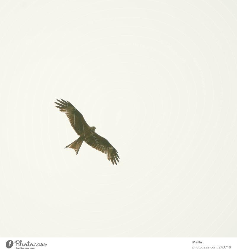 Himmelhoch Umwelt Natur Tier Luft Vogel Flügel Milan Roter Milan Greifvogel 1 fliegen ästhetisch elegant frei hell natürlich Freiheit Farbfoto Außenaufnahme