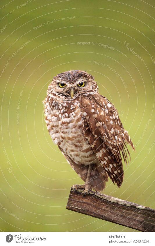 grün Tier Holz Vogel braun Wildtier Feder Wachsamkeit Tiergesicht gepunktet Weisheit Grasland gereizt Greifvogel Florida Waldohreule
