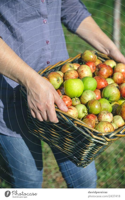 Frauenhände mit Weidenkorb und Bio-Äpfeln Frucht Apfel Lifestyle Freude Glück schön Freizeit & Hobby Garten Mensch Erwachsene Hand Natur Herbst authentisch