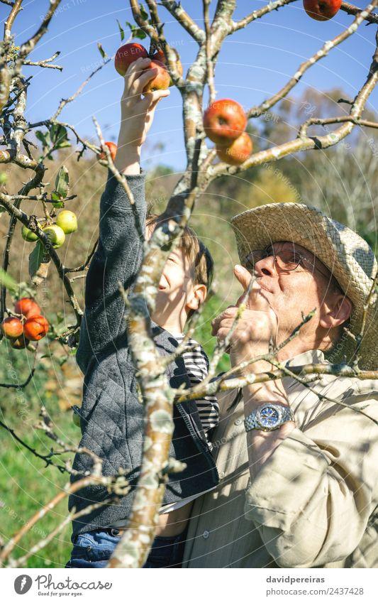 Älterer Mann und glückliches Kind pflücken Äpfel an einem sonnigen Tag Frucht Apfel Lifestyle Freude Glück Freizeit & Hobby Garten Mensch Junge Erwachsene