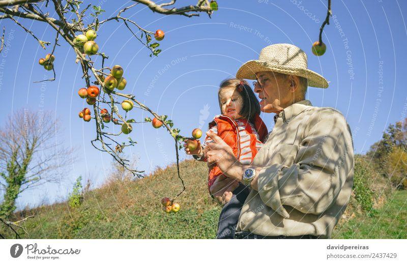 Senior Mann und kleines Mädchen pflücken Äpfel vom Baum Frucht Apfel Lifestyle Freude Glück Freizeit & Hobby Garten Kind Mensch Baby Frau Erwachsene Großvater