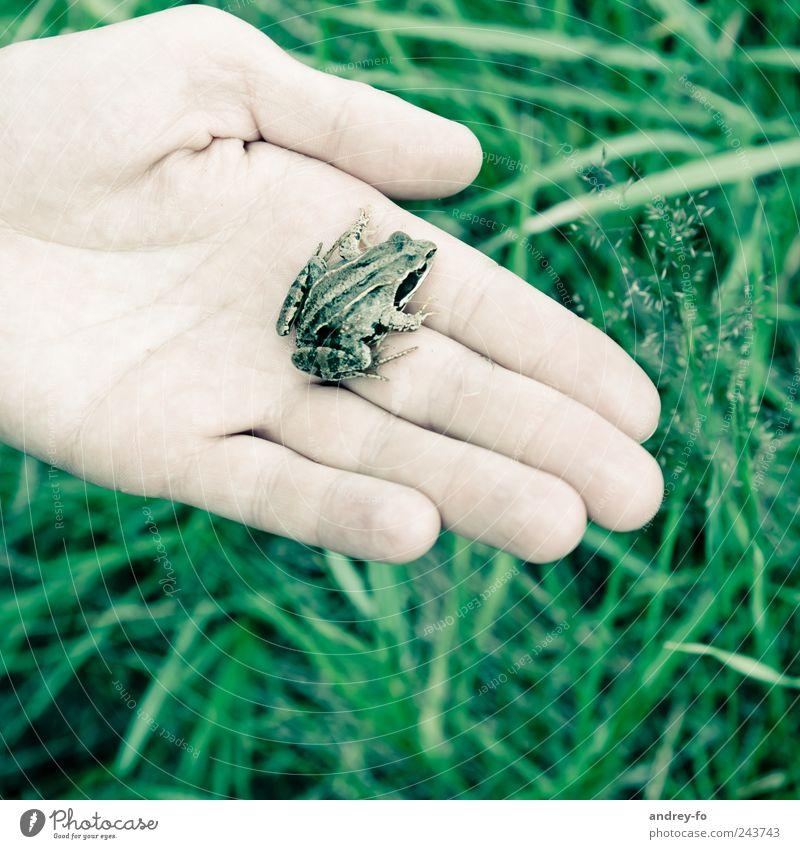 Frosch auf der Hand. Umwelt Natur Tier Gras Wildtier 1 klein grün Umweltschutz Grasfrosch nass feucht Amphibie Finger Sumpf Froschkönig sitzen Leben Moor tragen
