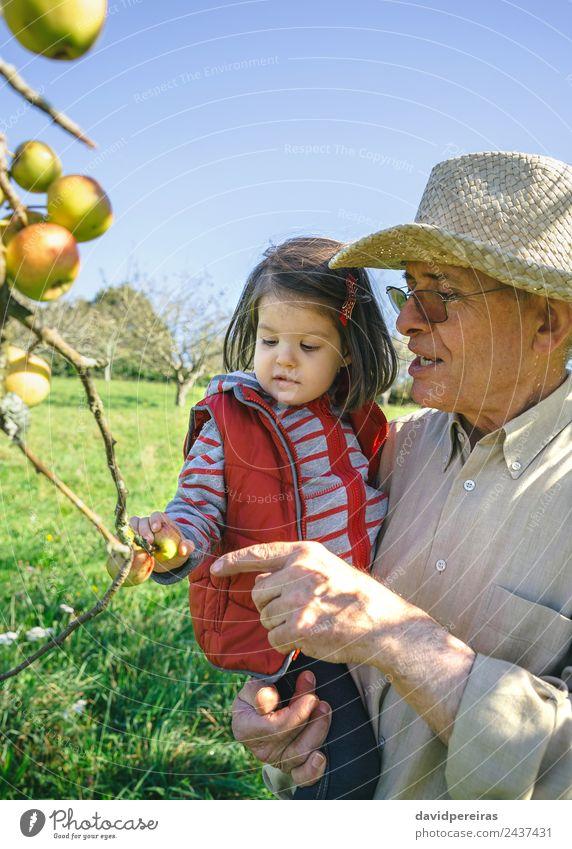 Älterer Mann hält kleines Mädchen, das an einem sonnigen Tag Äpfel pflückt Frucht Apfel Lifestyle Glück Freizeit & Hobby Garten Kind Mensch Baby Frau Erwachsene