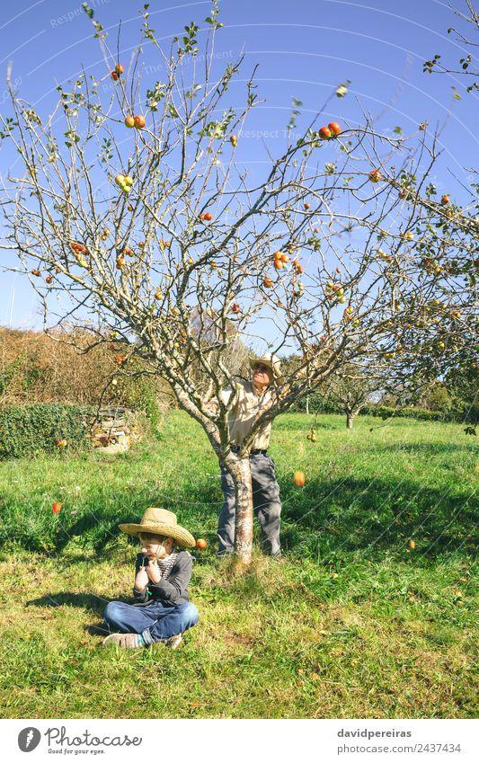 Senior Mann bewegt Baum und Äpfel, die über ein Kind fallen, das sitzt. Frucht Apfel Lifestyle Freude Glück Freizeit & Hobby Garten Mensch Junge Erwachsene