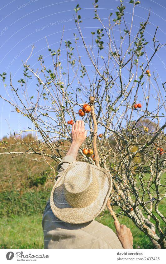 Senior Mann, der Äpfel mit einem Holzstab pflückt. Frucht Apfel Lifestyle Freude Glück Freizeit & Hobby Garten Mensch Erwachsene Großvater Hand Natur Herbst