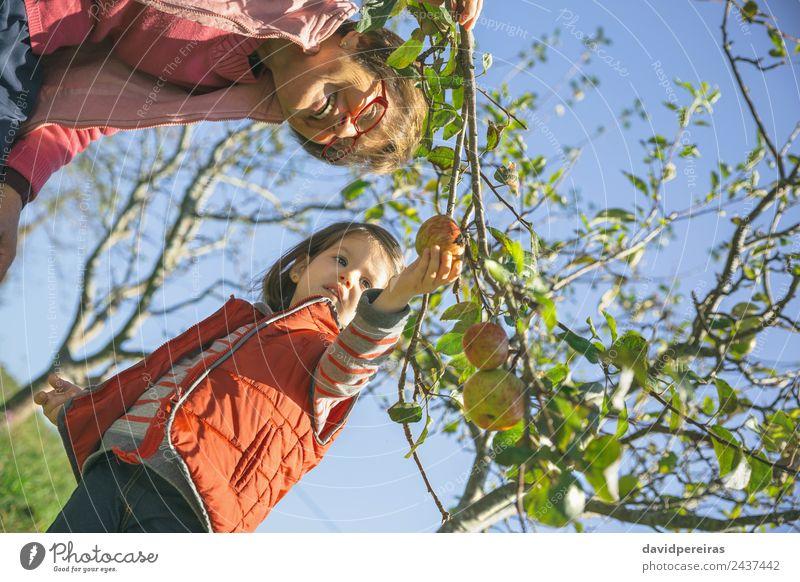 Seniorin und kleines Mädchen pflücken Äpfel vom Baum Frucht Apfel Lifestyle Freude Glück Freizeit & Hobby Garten Kind Mensch Baby Frau Erwachsene Großvater