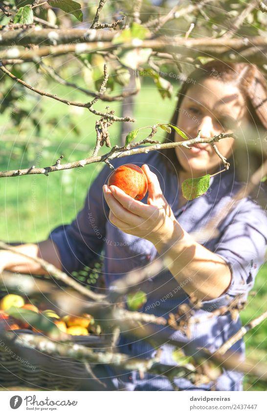 Frau pflückt mit der Hand roten Apfel vom Baum. Frucht Lifestyle Freude Glück schön Freizeit & Hobby Garten Mensch Erwachsene Natur Herbst authentisch