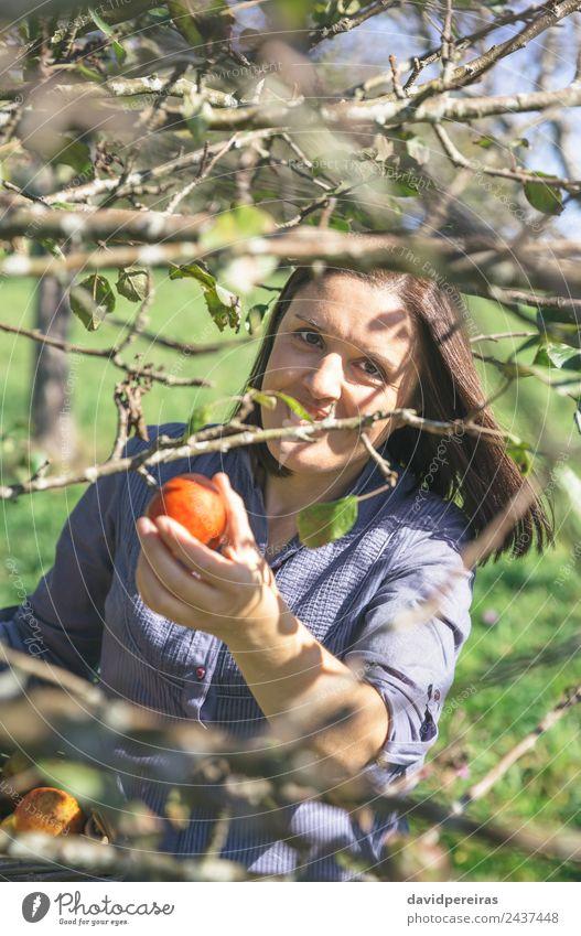 Frau pflückt Äpfel mit einem Korb in der Hand. Frucht Apfel Lifestyle Freude Glück schön Freizeit & Hobby Garten Mensch Erwachsene Natur Herbst Baum authentisch