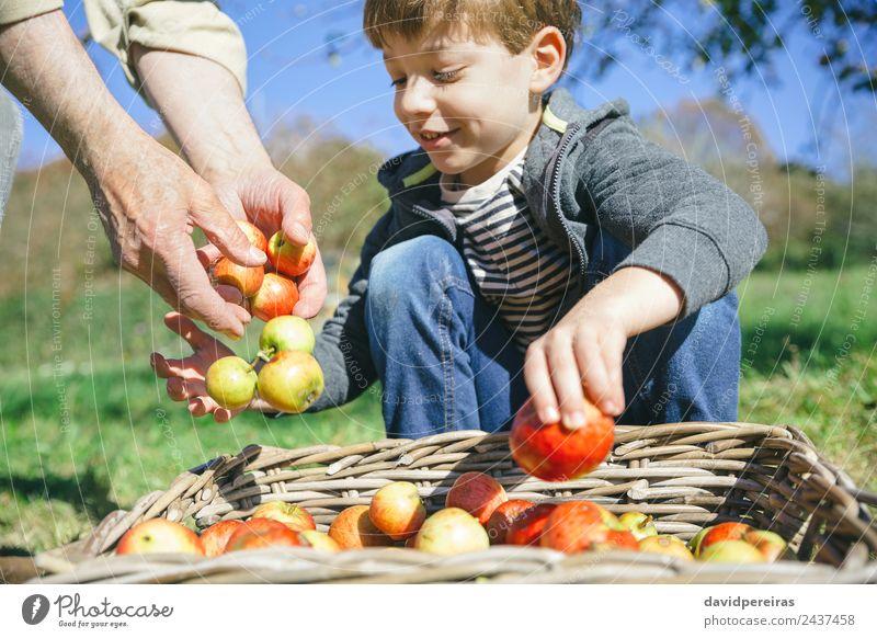 Kinder- und ältere Männerhände legen Äpfel in den Korb. Frucht Apfel Lifestyle Freude Glück Freizeit & Hobby Garten Mensch Junge Mann Erwachsene Hand Natur