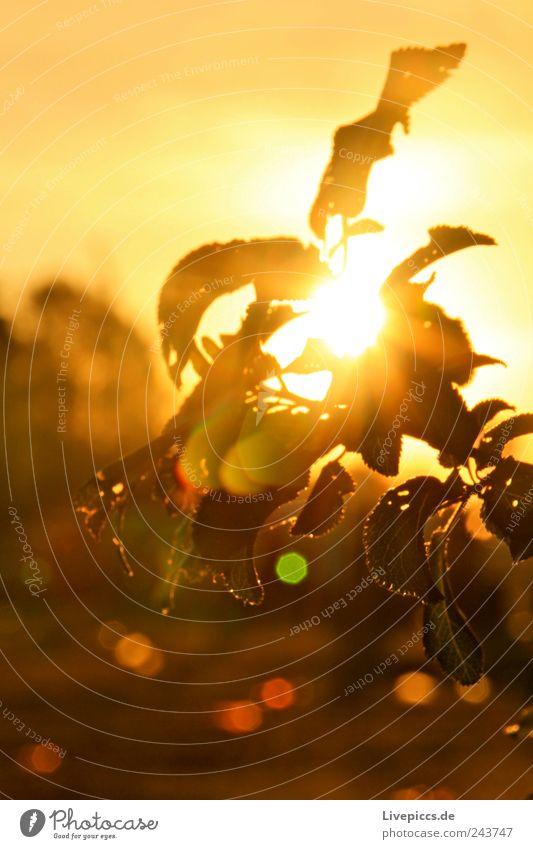 Lärzer Busch Umwelt Natur Landschaft Pflanze Wassertropfen Sonne Sonnenlicht Sommer Sträucher Blatt Grünpflanze gelb grün Pflanzenteile Farbfoto Außenaufnahme