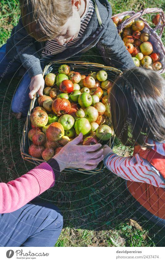 Kinder und ältere Frauen, die Äpfel in Körbe legen. Frucht Apfel Lifestyle Glück Freizeit & Hobby Garten Mensch Junge Erwachsene Mann Großmutter
