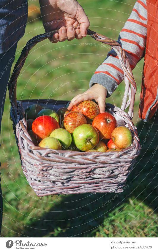 Mädchen pflückt mit der Hand einen frischen Apfel aus dem Weidenkorb. Frucht Lifestyle Freude Glück schön Freizeit & Hobby Garten Mensch Frau Erwachsene Natur
