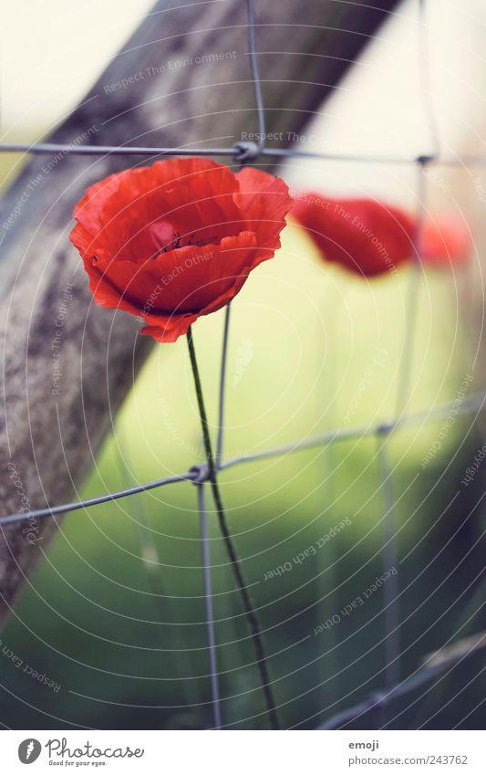 mehr mohn Natur Pflanze Blume Blüte Wildpflanze Garten Wiese Duft rot Mohn Zaun Zaunpfahl Blütenblatt blütenblattartig Stengel Farbfoto mehrfarbig Außenaufnahme