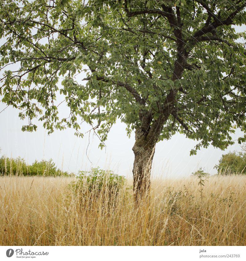 natur Umwelt Natur Landschaft Pflanze Himmel Baum Gras Sträucher Grünpflanze Nutzpflanze Feld natürlich braun gold grün Farbfoto Außenaufnahme Menschenleer Tag