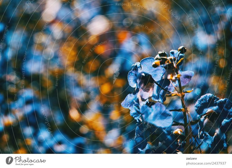 Nahaufnahme bunte kleine Blume blaue Farbe Hintergrund Design schön Sommer Berge u. Gebirge Garten Umwelt Natur Pflanze Blatt Blüte Grünpflanze Wildpflanze Park