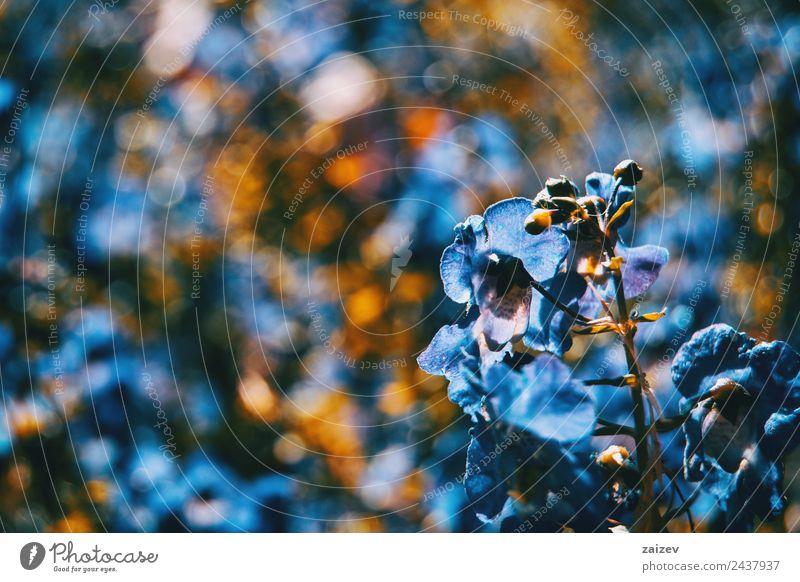 Nahaufnahme bunte kleine Blume blauer Farbhintergrund im Garten Design schön Sommer Berge u. Gebirge Umwelt Natur Pflanze Blatt Blüte Grünpflanze Wildpflanze
