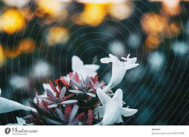 Nahaufnahme bunte kleine Blume weiße Farbe Hintergrund Design schön Sommer Berge u. Gebirge Garten Umwelt Natur Pflanze Blatt Blüte Grünpflanze Wildpflanze Park