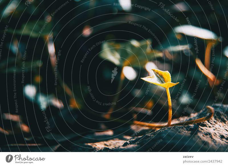 Hedera Helix (Ivy) im Garten vergrößern schön Sonne Berge u. Gebirge Umwelt Natur Pflanze Erde Sträucher Efeu Blatt Grünpflanze Wildpflanze Park Wiese Feld Wald