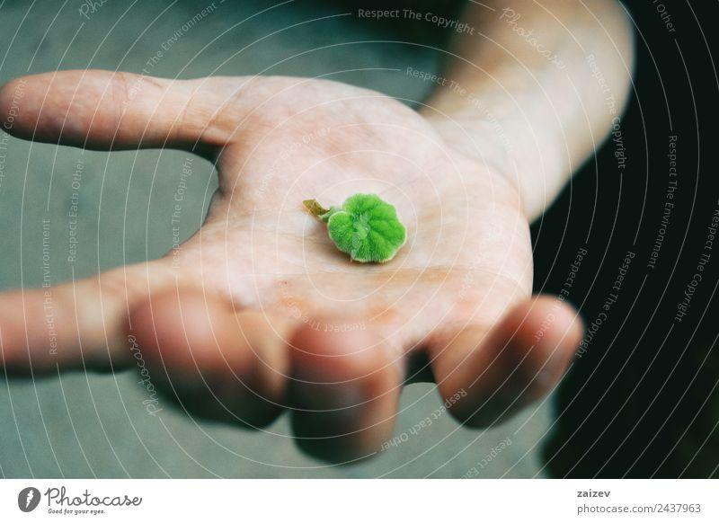 grüne Senecio-Blätter in den Händen der Person Makro Nahaufnahme in der Natur Design Mensch maskulin Junge Junger Mann Jugendliche Erwachsene Hand 1 Umwelt