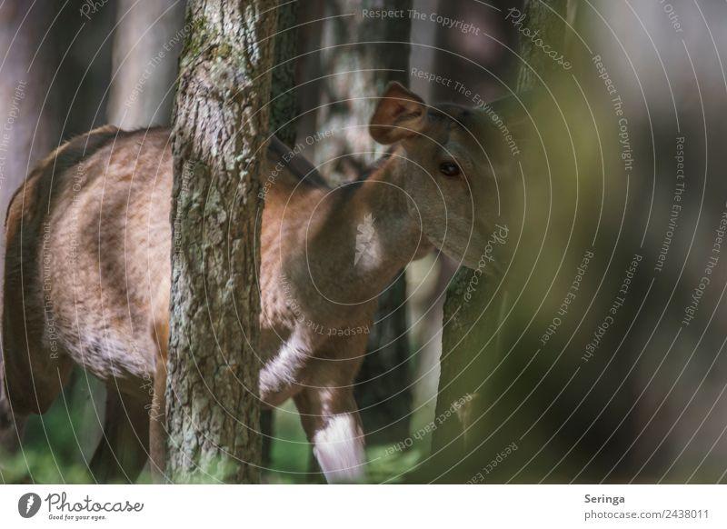 Die Hirschkuh hat mich erschreckt, sie stand mit einmal da Natur Pflanze Tier Frühling Sommer Wärme Wald Wildtier Tiergesicht Fell Pfote Fährte 1 beobachten