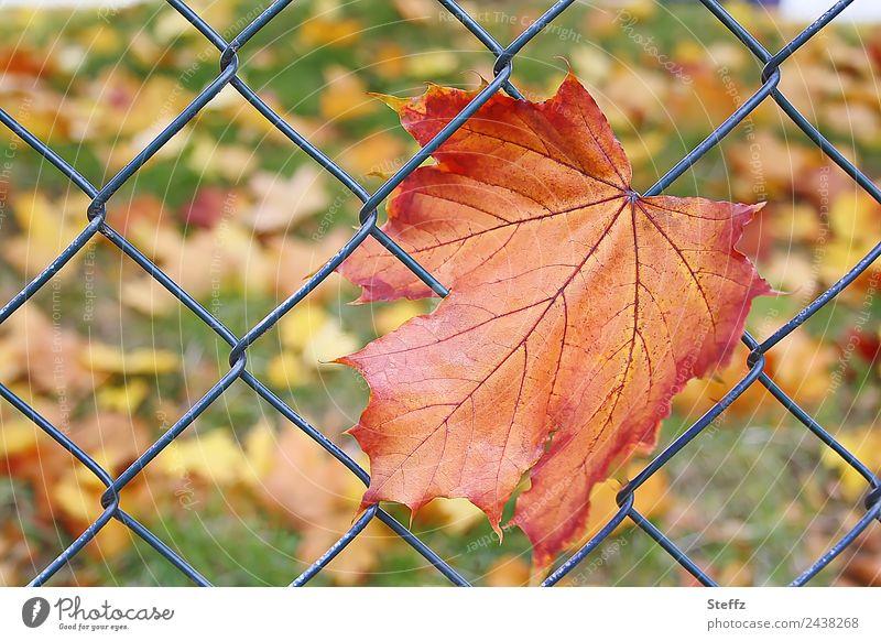 Falschmeldung | Das erste Herbstblatt.. Umwelt Natur Pflanze Blatt Herbstlaub Ahornblatt Blattadern Garten Wiese grün orange Ende Netz Netzwerk hängenbleiben