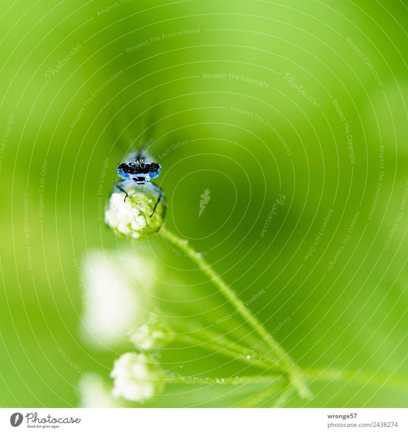 Libelle sitzt auf einer Blüte III Natur blau grün weiß Tier Wiese klein Garten Park Feld Wildtier Wassertropfen beobachten nah Insekt