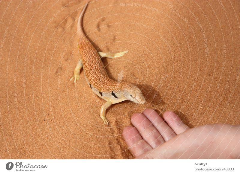 Sandfisch in der Wüste Saudi Arabiens Tier Wildtier Schuppen Echte Eidechsen 1 berühren krabbeln Schwimmen & Baden tauchen exotisch Freundlichkeit natürlich