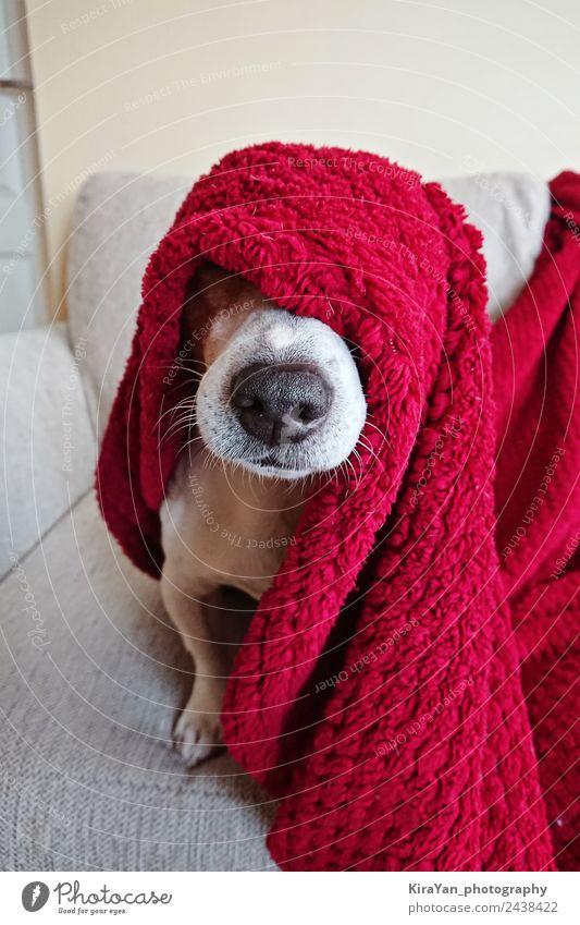 Lustiges Gesicht des süßen Jack Russell Hundes, eingewickelt in eine rote Decke, Glück Krankheit Erholung Winter Sofa Freundschaft Tier Wärme Haustier schlafen