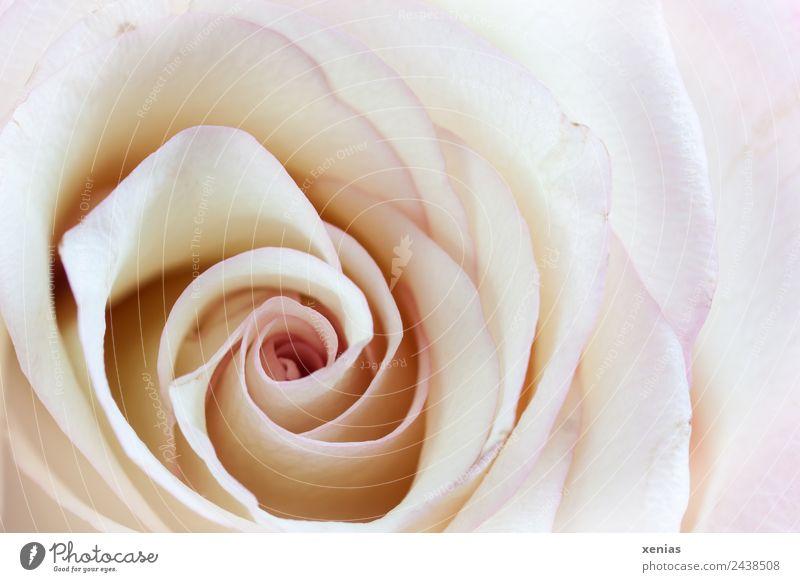 Makroaufnahme einer Rose Frühling Sommer Blume Blüte hell rund gelb violett weiß Liebe Romantik Duft schön Spirale Nahaufnahme Detailaufnahme xenias