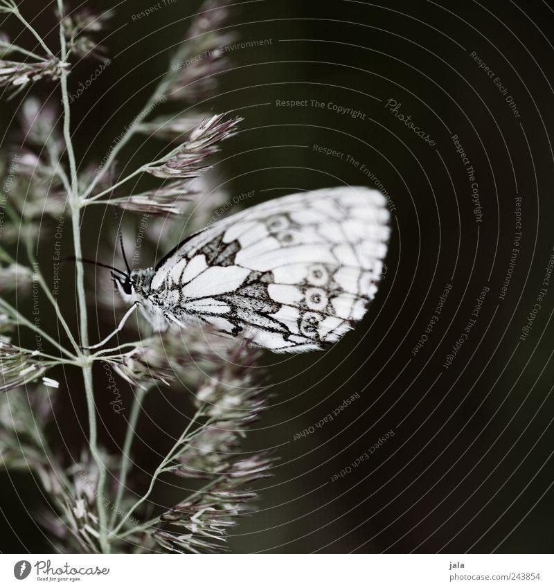 falter Natur Pflanze Tier Gras ästhetisch Schmetterling Wildtier