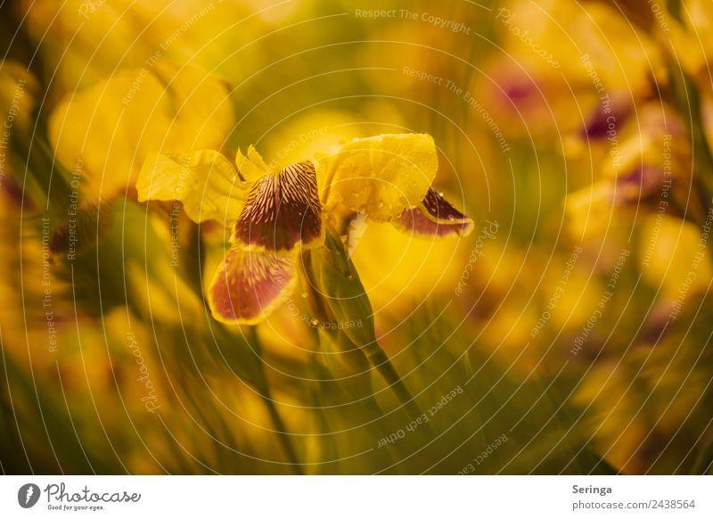 Gelbe Schwertlilie Natur Pflanze Tier Frühling Sommer Blume Blüte Nutzpflanze Garten Park Blühend Farbfoto mehrfarbig Außenaufnahme Nahaufnahme Detailaufnahme