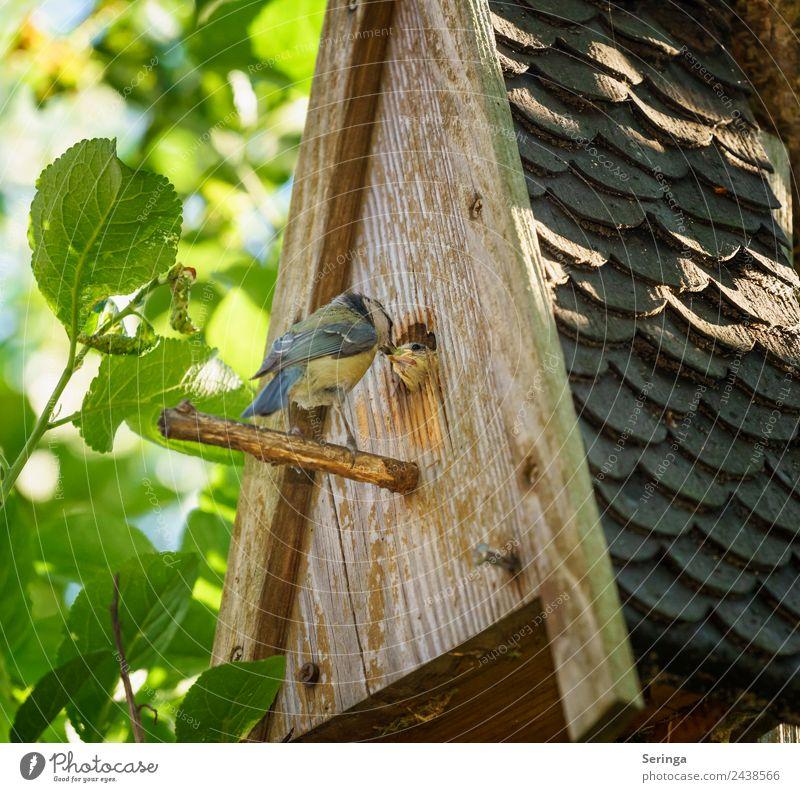 Fütterung Tier Wildtier Vogel Tiergesicht Flügel Krallen 2 Tierjunges Tierfamilie füttern Blaumeise Tierliebe Feder Nistkasten Farbfoto mehrfarbig Außenaufnahme