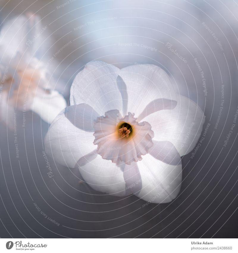 Frühlingsleuchten - Narzissen Natur Pflanze schön weiß Blume Erholung schwarz Blüte Traurigkeit außergewöhnlich träumen Nebel glänzend elegant