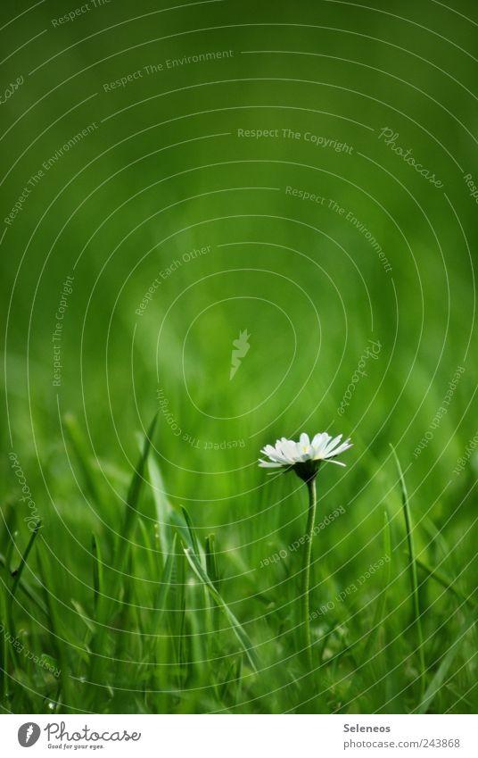 Daisy Natur Pflanze Sommer Ferien & Urlaub & Reisen Blume Blatt Ferne Wiese Freiheit Umwelt Landschaft Garten Gras Blüte Frühling Park