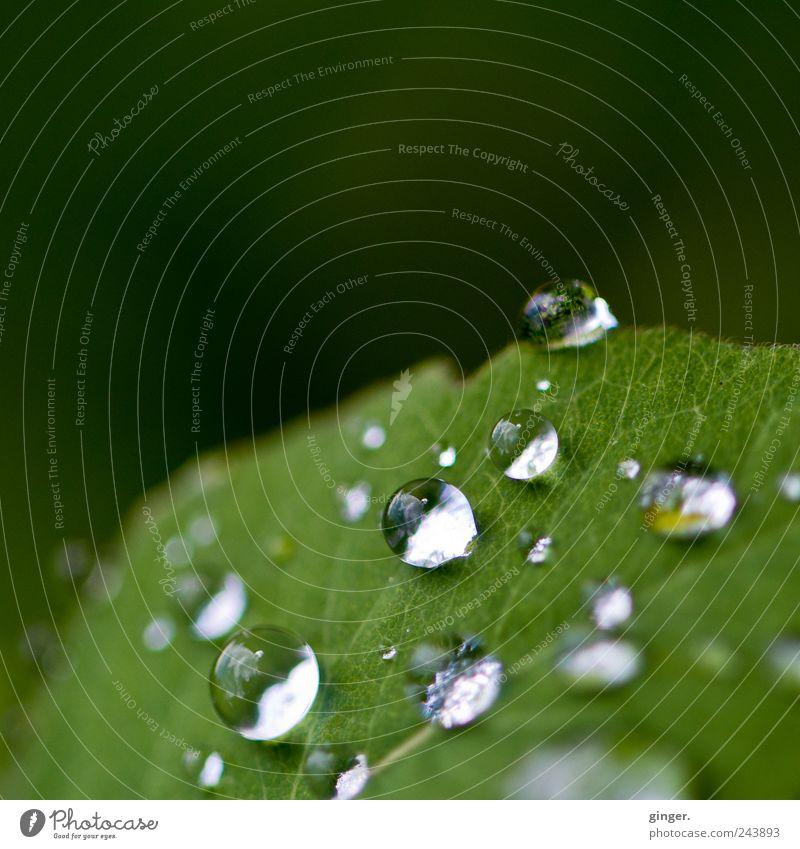 Morgen wird's sonniger! Umwelt Natur Pflanze Wasser Wassertropfen Sommer schlechtes Wetter Regen Blatt grün nass feucht Blattadern rund verteilt Lücke kleben