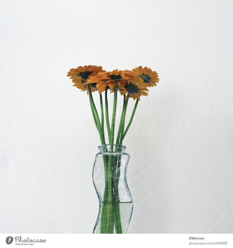 Gerbera schön Blume grün Pflanze ruhig Kraft Hintergrundbild frisch Wachstum Blühend Duft Zusammenhalt Wohlgefühl Vase verblüht