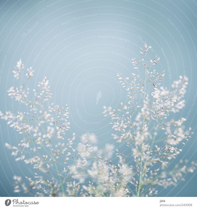 gräser Natur schön Himmel weiß grün blau Pflanze Wiese Gras hell ästhetisch Leichtigkeit filigran Grünpflanze Wildpflanze