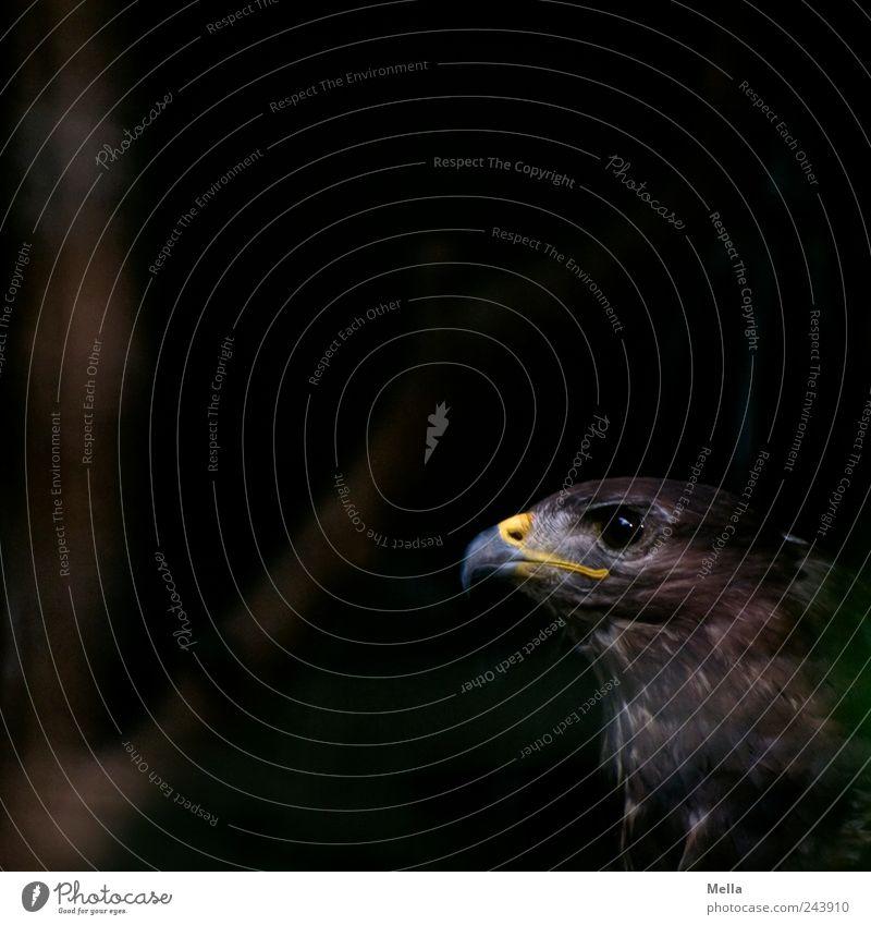 Darkside Natur Auge Tier dunkel braun Vogel ästhetisch Tiergesicht natürlich geheimnisvoll Wildtier Schnabel Bussard