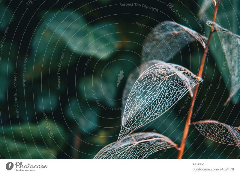 Feines Skelett-Makro für Blätter in Nahaufnahme Design Dekoration & Verzierung Umwelt Natur Pflanze Herbst Sträucher Blatt Grünpflanze Wildpflanze Garten Park