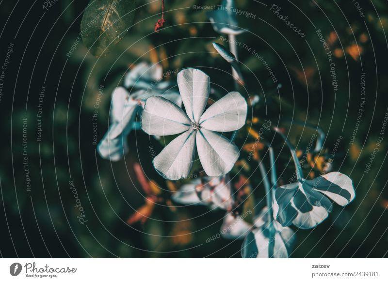 blaue Blüten von Plumbago auriculata in der Natur bei Sonnenlicht aus der Nähe betrachten Design schön Sommer Garten Dekoration & Verzierung Gartenarbeit