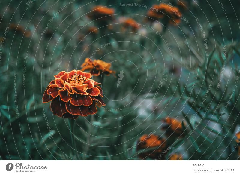 Nahaufnahme der roten und gelben Blüte der tagetes patula in einem Feld mit mehr unscharfen Blüten schön Duft Sommer Berge u. Gebirge Garten Natur Pflanze Blume